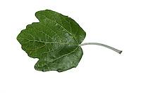 Silber-Pappel, Silberpappel, Weiß-Pappel, Weisspappel, Pappel, Populus alba, White Poplar, abele, silver poplar, silverleaf poplar, Le Peuplier blanc, Abèle, Peuplier à feuille d'érable, Peuplier argenté, Blanc de Hollande, Aube, Ypréau, Piboule. Blatt, Blätter, leaf, leaves