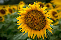 Sunflowers in bloom at Grinter Farm near Lawrence Kansas.