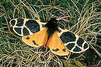 Gelber Bär, Engadiner Bär, Engadiner Bärenspinner, Arctia flavia, yellow tiger moth, l' Écaille jaune, Bärenspinner, Arctiidae