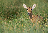 A bohor reedbuck hangs out in its typical wetland surroundings in the Serengeti.