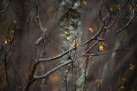 Last leaves of autumn on barren tree branches, Senja, Norway