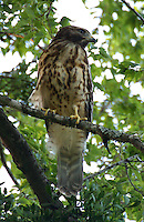 Red-shouldered hawk juvenile in tree