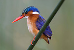 Malachite Kingfisher, perched on reed over Lake Awasa, Ethiopia, Africa