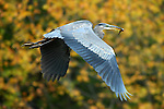 Great blue heron with lunch at Rose Valley Lake, Lycoming County, PA