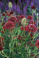 Scabiosa atropurpurea Chili Red, fragrant flower, Salvia nemerosa Ostfriesland