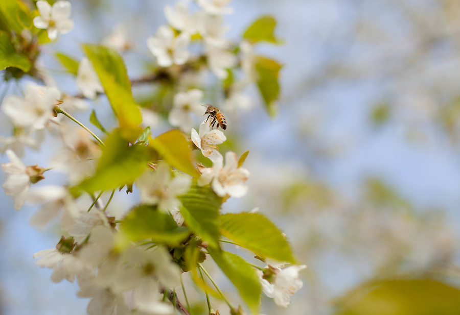 A single honeybee is collecting pollen in a white cherry bloom.