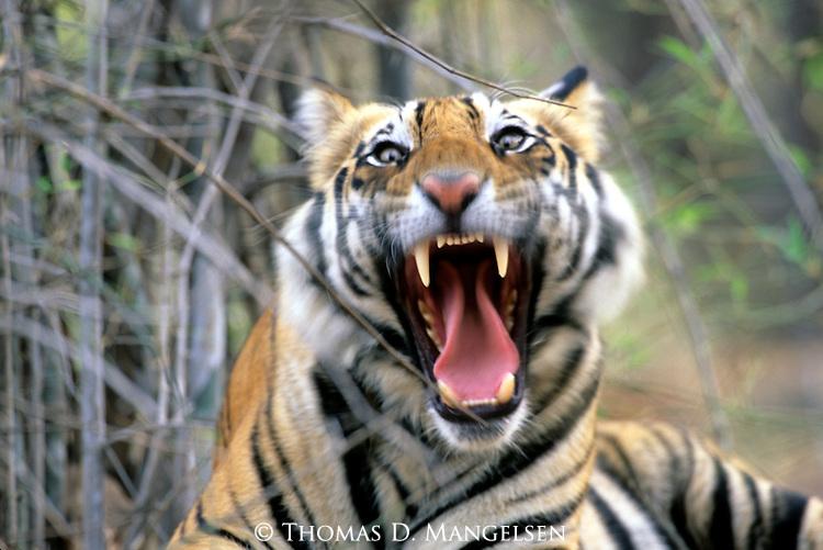 Close-up of a Bengal Tiger (Panthera tigris) in Bandhavgarh National Park, India