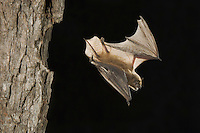 Yuma Myotis, Myotis yumanensis, adult in flight leaving day roost in tree hole, Willacy County, Rio Grande Valley, Texas, USA