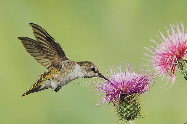 Anna's Hummingbird, Calypte anna, female in flight feeding on Thistle, Paradise, Chiricahua Mountains, Arizona, USA, August 2005..