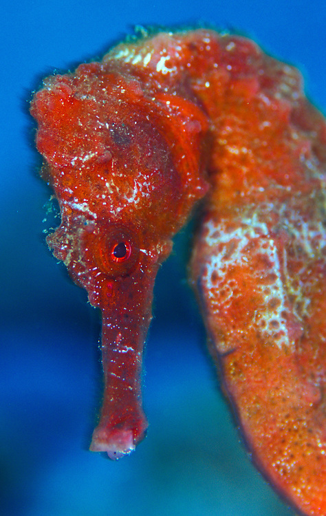 Facial view of a red Longsnout seahorse (Hippocampus reidi)
