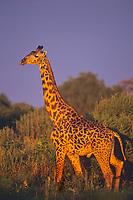 Masai Giraffe (Giraffa camelopardalis) Tarangire National Park, Tanzania.