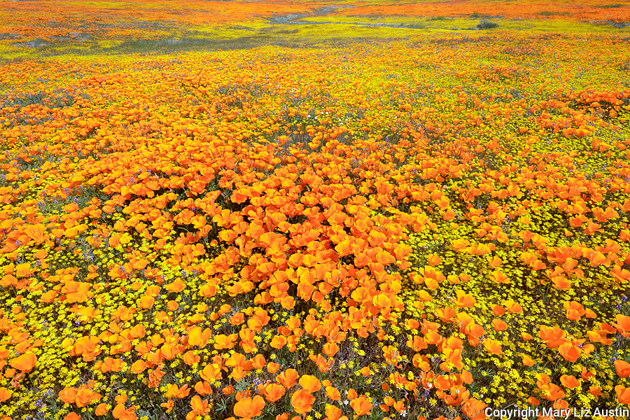 Antelope Valley, California: California Poppies and California Coreopsis blooming in fields near Lancaster, Los Angeles County, Mojave Desert