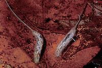 Rat-tailed Maggot; larva of hoverfly; DE, Blackbird State Forest
