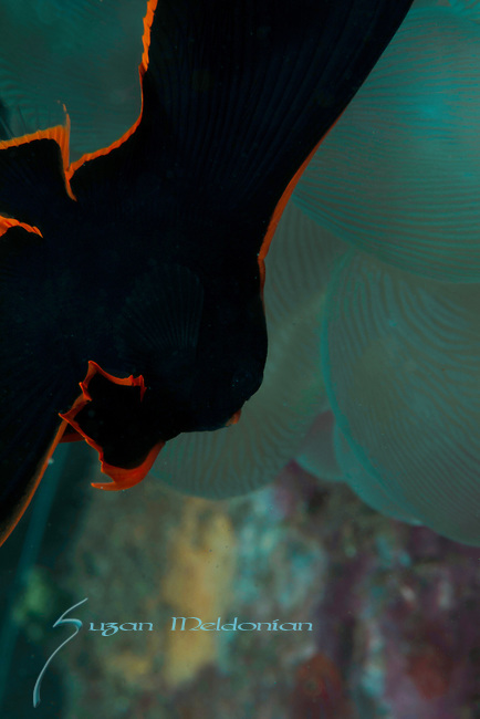 Batfish, Platax pinnatus