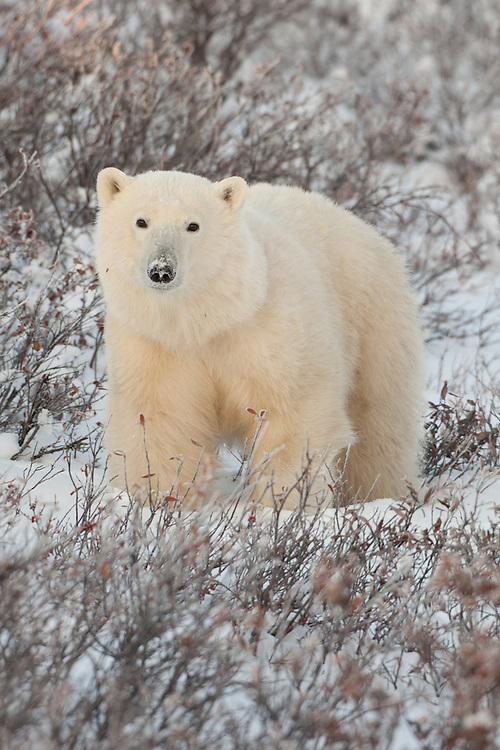 Polar Bear standing amongst snow and brush