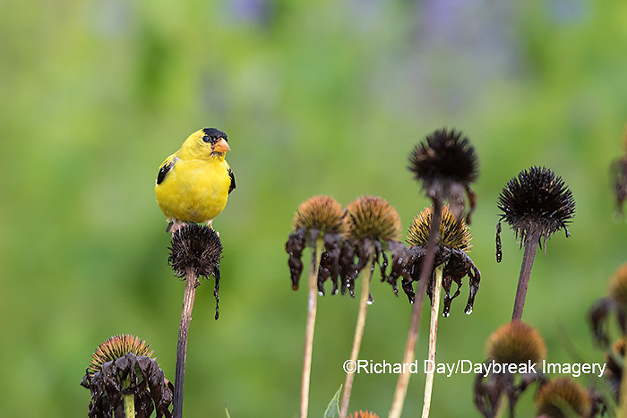 01640-16313 American Goldfinch (Spinus tristis) male eating purple coneflower (Echinacea purpurea) seeds Marion County, IL.