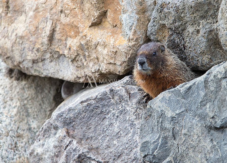A yellow-bellied marmot peeks out of its rocky home.