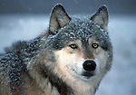 Grey or Timber Wolf, Canis Lupus, in snow, portrait looking at camera, Minnesota USA, controlled situation.USA....