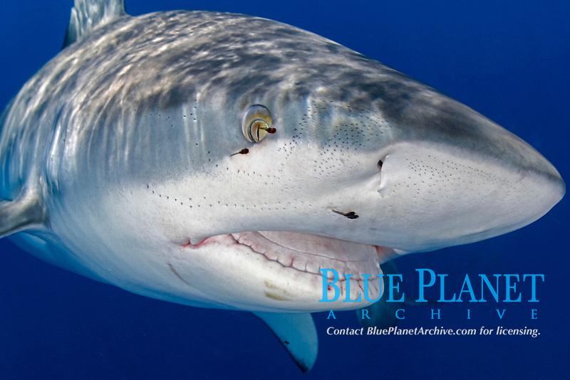 Galapagos shark, Carcharhinus galapagensis, note parasites and ampullae of lorenzini, Oahu, Hawaii, Pacific Ocean