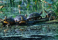 Turtles basking on log, Wakodohatchee Wetlands, Delray, Florida