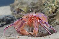 Anemonen-Einsiedlerkrebs, Anemoneneinsiedlerkrebs, Pagurus prideaux, Eupagurus prideaux, Anemonen-Einsiedler, Anemoneneinsiedler, Prideaux-Einsiedlerkrebs, Prideauxeinsiedlerkrebs, mit Mantelaktinie, Mantel-Aktinie, Adamsia palliata, Adamsia carciniopados, Prideaux's hermit crab, smaller hermit crab, Anemone Hermit Crab, hermit crab with sea anemone, Seeanemone, Seeanemonen, anemone, Blumentier, Blumentiere, Anthozoa, anemones, sea anemones, Einsiedlerkrebse, Paguridae, hermit crabs, Symbiose, symbiosis