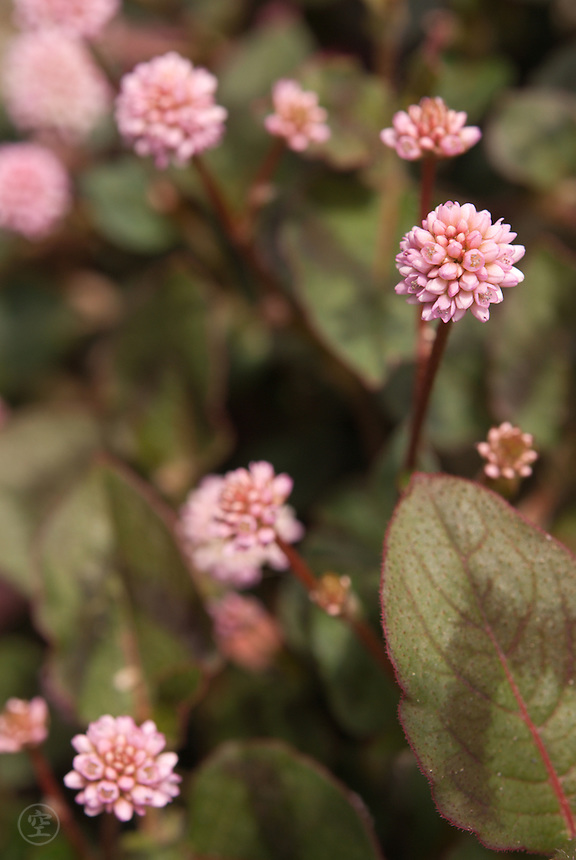 Pink Knotweed (Persicaria capitata) blooming in April in Japan's Kanto region
