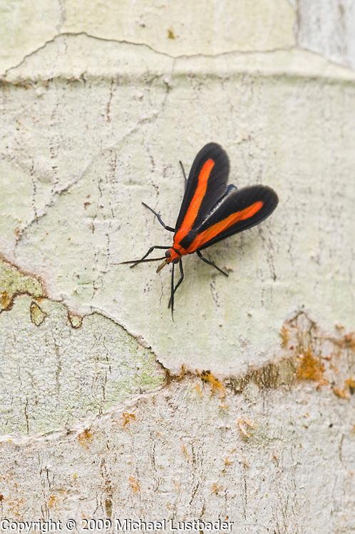 Rainforest fly