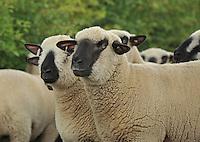Hampshire Down shearling ewes...Copyright..John Eveson, Dinkling Green Farm, Whitewell, Clitheroe, Lancashire. BB7 3BN.01995 61280. 07973 482705.j.r.eveson@btinternet.com.www.johneveson.com