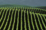 Vineyard in Pope Valley region of Napa Valley