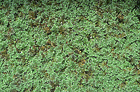 Water Fern - Azolla filiculoides