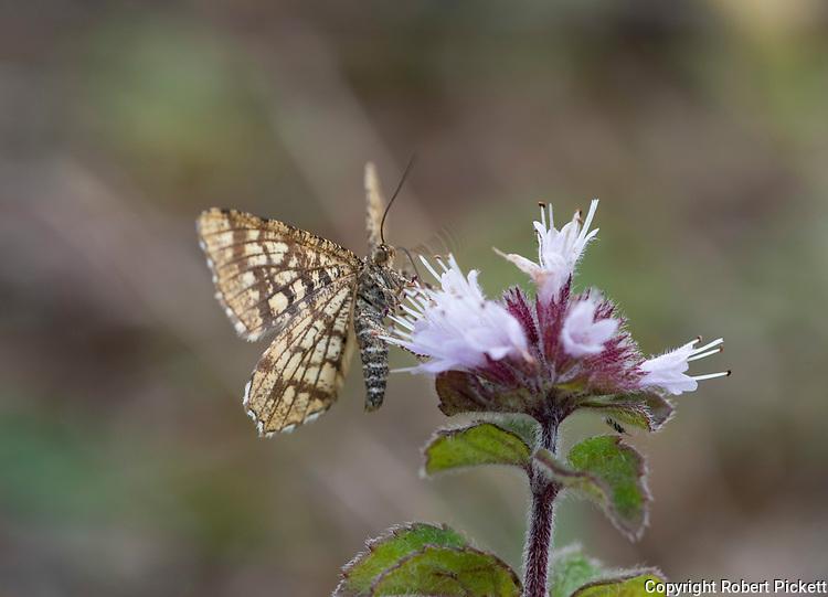 Latticed Heath Moth, Chiasmia clathrata, Monkton Nature Reserve, Kent UK, feeding on flower