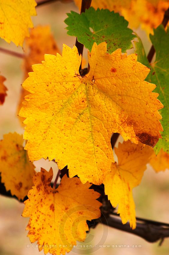 A Mourvedre leaf on a vine. Yellow autumn colours.  Domaine la Monardiere Monardière, Vacqueyras, Vaucluse, Provence, France, Europe