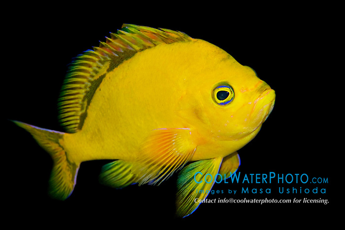 Hawaiian deep anthias or yellow anthias, Odontanthias fuscipinnis, very rare and endemic to Hawaii, Pacific Ocean (c)