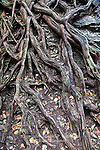 Exposed Roots of Northern White Cedar
