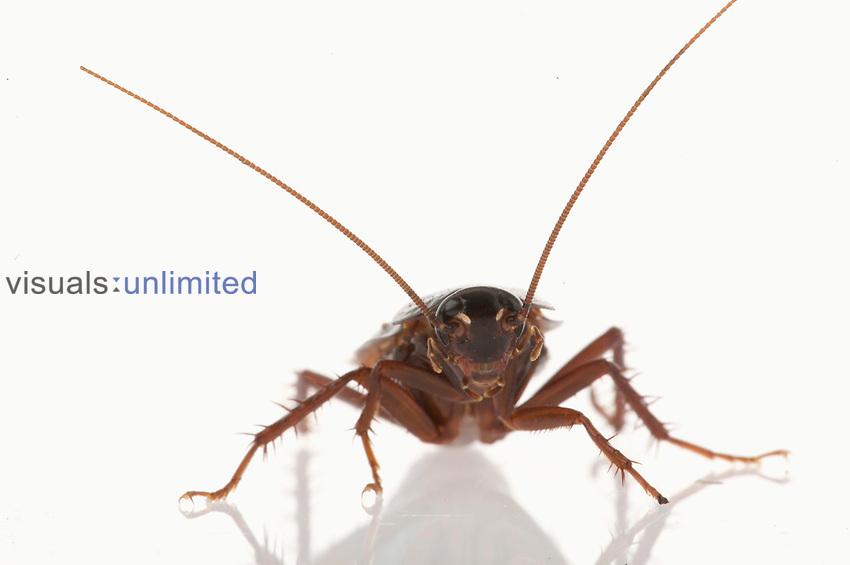 Oriental Cockroach (Blatta orientalis)