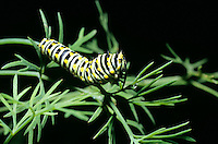 LARVAL LEPIDOPTERAN (CATERPILLAR)<br /> Black Swallowtail Butterfly Larva Feeding On Dill