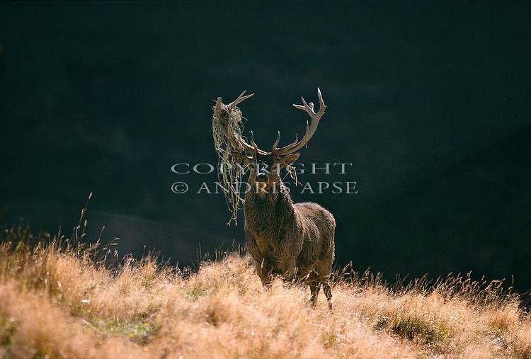 Red Deer stag in the Manawatu/Whanganui region. New Zealand.