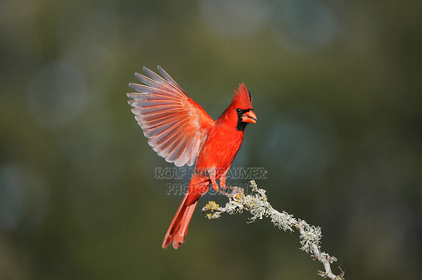 Northern Cardinal (Cardinalis cardinalis), male landing, Dinero, Lake Corpus Christi, South Texas, USA