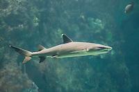 Weißspitzen-Riffhai, Weißspitzenriffhai, Weißspitzenhundshai, Weißspitzen-Hundshai, Riffhai, Hai, Haie, Triaenodon obesus, Trianodon obesus, Whitetip reef shark, Reef whitetip, shark, sharks