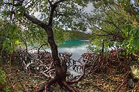 Mangroves in Hurricane Hole<br /> St. John<br /> U.S. Virgin Islands