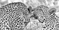MalaMala may be the best place to see wild leopards on earth.  On this day we spent time with a mother and her two 8-month old cubs.<br /> <br /> This image is also available in color.