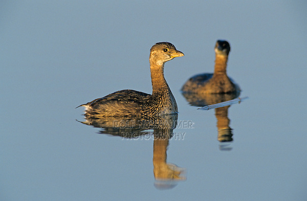 Pied-billed Grebe, Podilymbus podiceps, adult winter plumage, Port Aransas, Texas, USA, December 2003