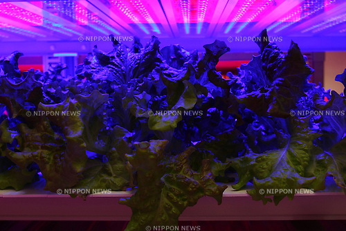 August 2, 2010 - Tokyo, Japan - Leaf lettuces grow under light-emitting diodes (LEDs) at the Plant Factory housed in the research center of Tamagawa University, Tokyo, Japan, on August 2, 2010. The full research facility, named Future Science Technology Center, has been operational since March 2010. The plant factory facility uses artificial lighting sources, such as Light-emitting Diodes (LEDs), Hybrid Electrode Fluorescent Lamps (HEFLs) and cool white fluorescent (CWF) lamps for plant production.