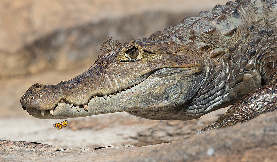We saw a few spectacled caimans in the Brazilian Amazon.