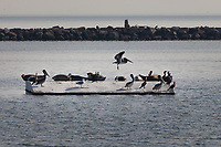 A Brown pelican comes in for a landing on a concrete platform in the middle of the sea plane lagoon at Encinal Beach in Alameda.   It is joining other pelicans, cormorants, gulls and nine or ten seals on the platform.