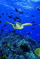 Green sea turtle and reef fish