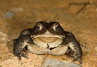 0304-0926  American Toad, © David Kuhn/Dwight Kuhn Photography, Anaxyrus americanus, formerly Bufo americanus