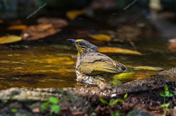 Stripe-throated Bulbul (Pycnonotus finlaysoni) at a watering hole. (Kaeng Krachan, Thailand)