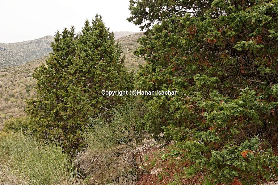 The Golan Heights, Prickly Juniper (Juniperus oxycedrus) in Wadi Arar