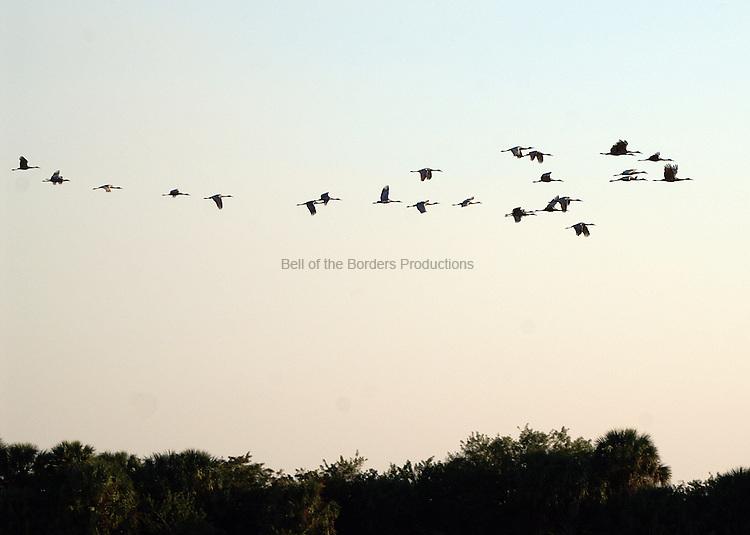 Sandhill crane flying at sunset.